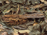 Nightjar Nesting in Leaf Litter, Caprimulgus Sp., Cockscomb Basin, Belize Photographic Print by Frans Lanting