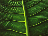Leaf Ribs, Sabah, Borneo Photographic Print by Frans Lanting