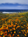 California Poppies, Eschscholzia Californica, Big Sur, California Photographic Print by Frans Lanting