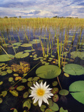 Water Lilies, Okavango Delta, Botswana Photographic Print by Frans Lanting