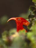 I'Iwi, Vestiaria Coccinea, Kauai, Hawaii Photographic Print by Frans Lanting