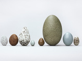 Collection of Bird Eggs, Western Foundation of Vertebrate Zoology, Los Angeles, California Photographic Print by Frans Lanting