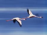 Greater Flamingoes in Flight, Phoenicopterus Roseus, Lake Nakuru National Park, Kenya Photographic Print by Frans Lanting
