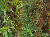 Epiphytes in Cloud Forest, Mt Kinabalu National Park, Sabah, Borneo Photographic Print by Frans Lanting