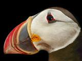 Atlantic Puffin Male, Fratercula Arctica, Norway Impressão fotográfica por Frans Lanting