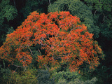 Flowering Tree (Aerial), Vilcabamba, Peru Photographic Print by Frans Lanting