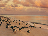 Laysan Albatross Juveniles on the Beach, Phoebastria Immutabilis, Midway Atoll, Hawaiian Leeward Is Papier Photo par Frans Lanting