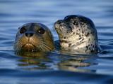 Harbor Seals, Phoca Vitulina, Monterey Bay, California Fotografisk tryk af Frans Lanting
