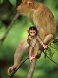 Pig-Tailed Macaque Mother and Infant, Macaca Nemestrina, Bako National Park, Borneo Photographic Print by Frans Lanting