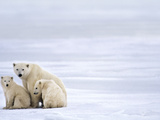 Polar Bear Mother and Cubs, Ursus Maritimus, Hudson Bay, Canada Photographic Print by Frans Lanting