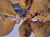 Helmeted Guinea Fowl at Waterhole, Numida Meleagris, Botswana Photographie par Frans Lanting