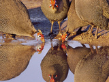 Helmeted Guinea Fowl at Waterhole, Numida Meleagris, Botswana Photographic Print by Frans Lanting