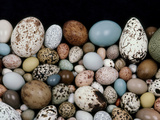 Bird Egg Diversity, Western Foundation of Vertebrate Zoology, Los Angeles, California Fotografisk trykk av Frans Lanting