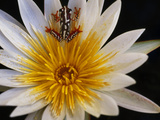 Reed Frog, Hyperolius Sp., in Water Lily, Okavango Delta, Botswana Photographic Print by Frans Lanting