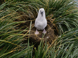 Black-Browed Albatross Chick on Nest, Thalassarche Melanophrys, Falkland Islands Photographic Print by Frans Lanting
