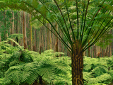 Tree Ferns, Dicksonia Antarctica, in Eucalyptus Forest, Ferntree Gully National Park, Australia Photographic Print by Frans Lanting