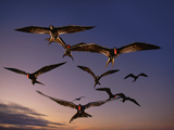 Magnificent Frigate Birds in Flight, Fregata Magnificens, Galapagos Islands Reproduction photographique par Frans Lanting