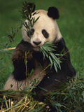 Giant Panda Eating Bamboo, Ailuropoda Melanoleuca, Native to China Lámina fotográfica por Frans Lanting