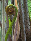 Fern Uncurling, Danum Valley, Sabah, Borneo Photographic Print by Frans Lanting