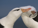 Black-Browed Albatrosses Courting, Thalassarche Melanophrys, Steeple Jason, Falkland Islands Photographic Print by Frans Lanting