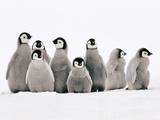 Emperor Penguin Chicks, Aptenodytes Forsteri, Weddell Sea, Antarctica Fotografisk tryk af Frans Lanting