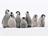 Emperor Penguin Chicks, Aptenodytes Forsteri, Weddell Sea, Antarctica Fotodruck von Frans Lanting