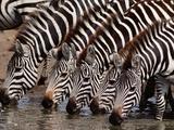 Zebras Drinking, Equus Quagga, Masai Mara Reserve, Kenya Photographic Print by Frans Lanting