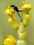Ant, Camponotus Sp., on Euphorbia Flower, Richtersveld National Park, South Africa Photographic Print by Frans Lanting