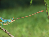 Parson&#39;s Chameleon Striking Insect, Calumma Parsonii, Mantadia National Park, Eastern Madagascar Photographic Print by Frans Lanting