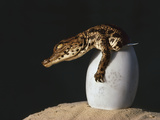 Nile Crocodile Hatchling, Crocodylus Niloticus, Okavango Delta, Botswana Photographic Print by Frans Lanting