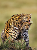 Leopard Licking Cub, Panthera Pardus, Masai Mara National Reserve, Kenya Photographic Print by Frans Lanting