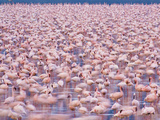 Lesser Flamingos, Phoenicopterus Minor, Lake Nakuru National Park, Kenya Photographic Print by Frans Lanting