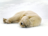 Polar Bear Covering Eyes, Ursus Maritimus, Hudson Bay, Canada Papier Photo par Frans Lanting