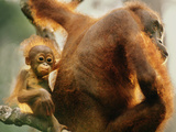 Bornean Orangutan Mother and Young, Pongo Pygmaeus, Sepilok Reserve, Sabah, Borneo Photographic Print by Frans Lanting