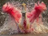 Roseate Spoonbill Bathing, Platalea Ajaja, Pantanal, Brazil Photographic Print by Frans Lanting