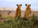 Lionesses Watching for Prey, Panthera Leo, Masai Mara Reserve, Kenya Fotografisk tryk af Frans Lanting