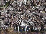 Zebras Drinking, Equus Quagga, Chobe National Park, Botswana Fotografisk tryk af Frans Lanting