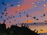 Atlantic Puffins at Dusk, Fratercula Arctica, Outer Hebrides, Scotland Photographic Print by Frans Lanting