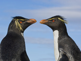 Rockhopper Penguins, Eudyptes Chrysocome, Saunders Island, Falkland Islands Photographic Print by Frans Lanting
