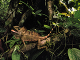 Bornean Crested Lizard, Gonocephalus Grandis, Danum Valley, Sabah, Borneo Photographic Print by Frans Lanting