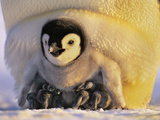 Emperor Penguin Chick on Parent's Feet, Aptenodytes Forsteri, Antarctica Photographic Print by Frans Lanting