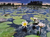 Water Lilies in Lagoon, Okavango Delta, Botswana Photographic Print by Frans Lanting
