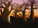 Baobabs at Sunset, Adansonia Digitata, Makgadikgadi Pans, Botswana Photographic Print by Frans Lanting