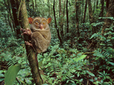 Western Tarsier Clinging to Tree, Tarsius Bancanus, Sabah, Borneo Photographic Print by Frans Lanting
