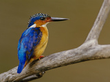 Malachite Kingfisher, Alcedo Cristata, Madagascar Photographic Print by Frans Lanting