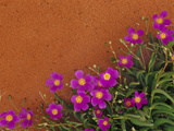 Wildflowers, Central Desert, Australia Photographic Print by Frans Lanting