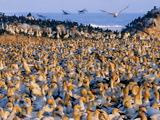 Cape Gannet Colony, Morus Capensis, Lambert's Bay, South Africa Photographic Print by Frans Lanting