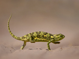 Flap-Necked Chameleon Crossing Sand, Chamaeleo Dilepis Dilepis, Makgadikgadi Pans, Botswana Photographic Print by Frans Lanting