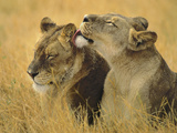 Lionesses Grooming, Panthera Leo, Chobe National Park, Botswana Photographic Print by Frans Lanting
