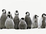 Emperor Penguin Chicks, Aptenodytes Forsteri, Weddell Sea, Antarctica Reprodukcja zdjęcia autor Frans Lanting